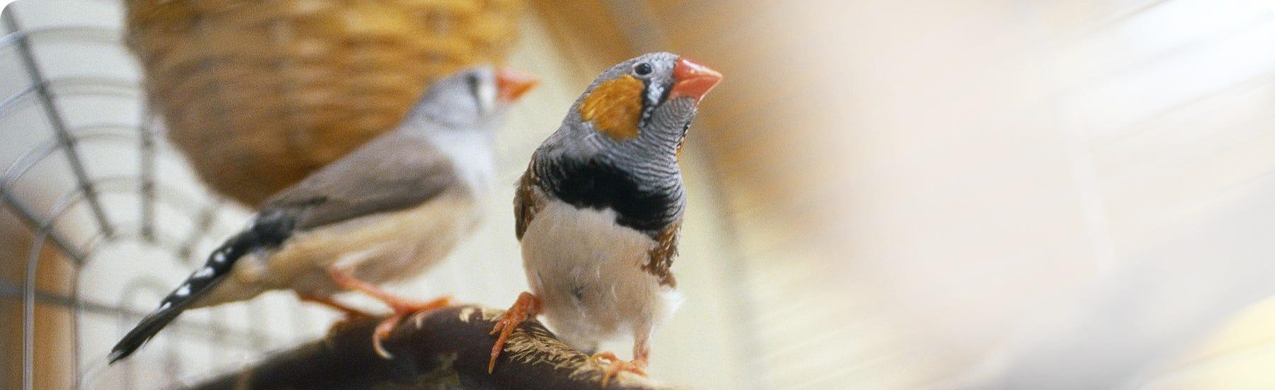 Cage bird food